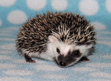 Yountz Hedgehog