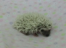 Hedgehog Breeder Michigan