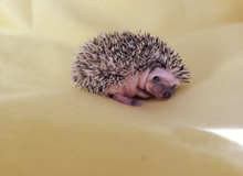 Michigan Hedgehog Breeder